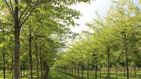 Zelkova Green Vase Tree by Zelkova Serrata Green Vase Treeebb Tree Finding Tool Ebben Nurseries