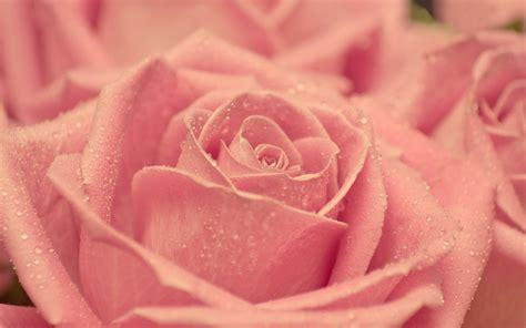 imagenes rosas wallpapers hermosas rosas rosadas fotos e im 225 genes en fotoblog x
