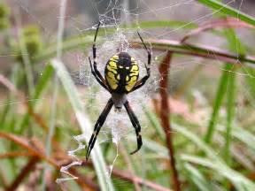 Yellow Spider Yellow Garden Spider The Of Animals