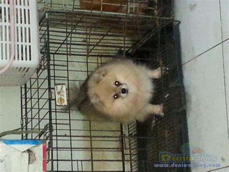 Anjing Minipom Stambum dunia anjing jual anjing pomeranian jual minipom