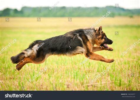german shepherd running four legs stock photo 146545877