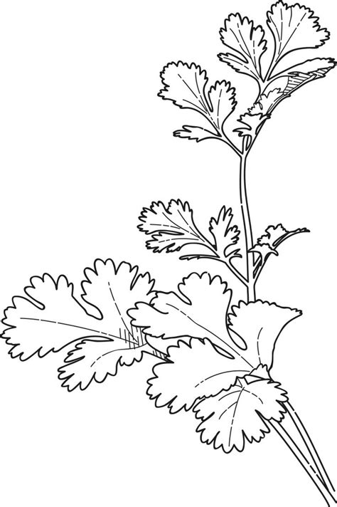 herb garden coloring pages cilantro coloring pages google search food related