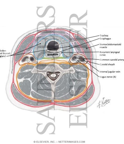 axial section neck axial section at thyroid gland