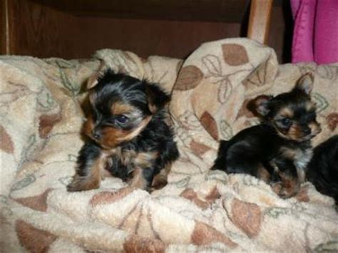 free tiny teacup yorkies tiny teacup yorkies for free adoption yorkie for free adoption breeds picture