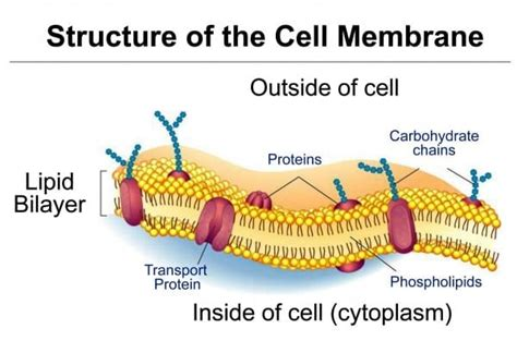 cell membrane diagram labeled