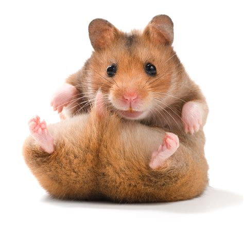 hamster breeds types of hamsters hamster breeds funny