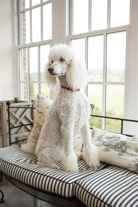 Do Standard Poodles Shed by 1000 Images About Breeds That Don T Shed On