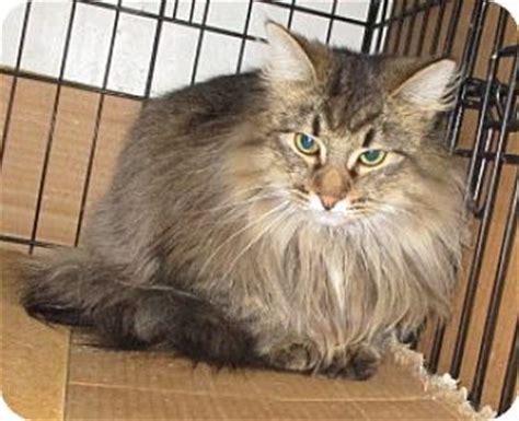 adoption michigan detroit mi maine coon meet missleah a cat for adoption