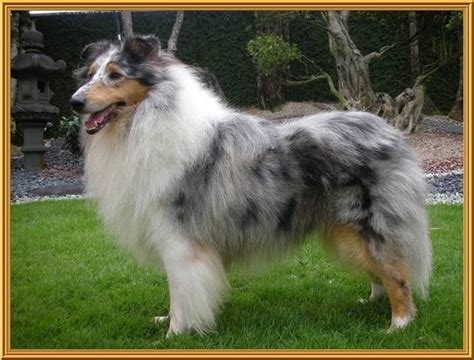collie puppies for adoption purebred collies for adoption breeds picture