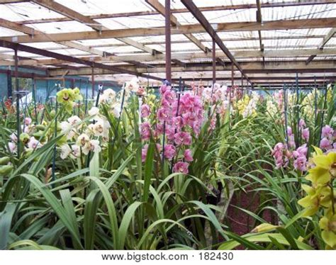 cymbidium orchid nursery image photo bigstock