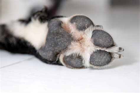 why dogs paws frito why do paws smell like corn chips