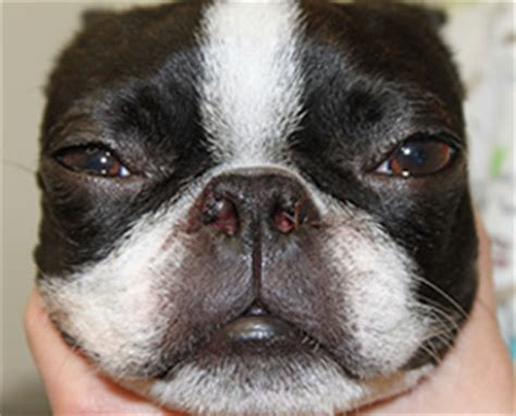 pug soft palate surgery cost brachiocephalic correction of bulldogs lake geneva wi