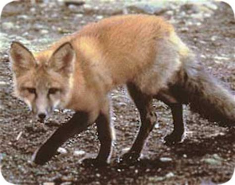 get rid of foxes in backyard how to get rid of fox