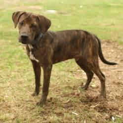 plott hound dogs plott hound puppies rescue pictures information