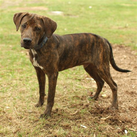 Coonhound Shedding by Lab Pitbull Mix Temperament Breeds Picture