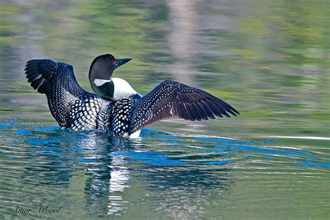 national loons lights national loon lights 28 images 46 best images about
