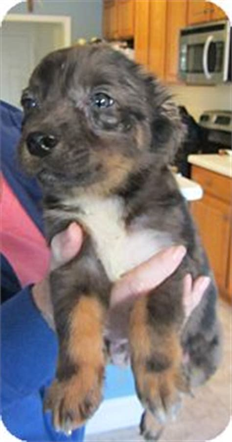 aussie pug mix spotty adopted puppy fc pdrake lincolnton nc australian shepherd pug mix