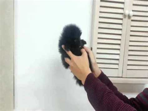 black teacup pomeranian for sale lil black betty micro teacup pomeranian for sale