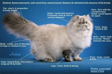 Sho Kucing Di Malaysia cat breed standard