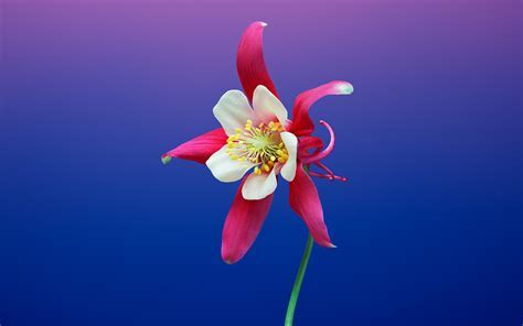 Aquilegia Flower iOS 11 iPhone 8 X Stock Wallpapers   HD