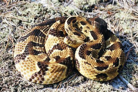 pa bite beaver county dies after rattlesnake bite in elk county pittsburgh post gazette