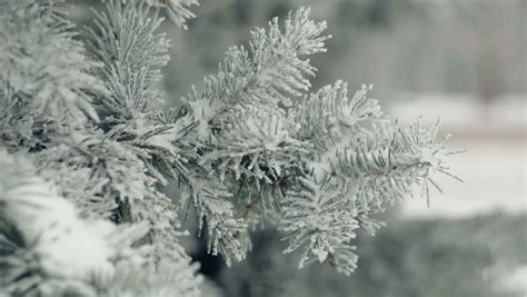 fir branches covered with hoar frost shoot in raw slide