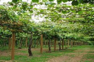 Bibit Buah Kiwi Di Indonesia 9 cara menanam buah kiwi dari biji panduan lengkap