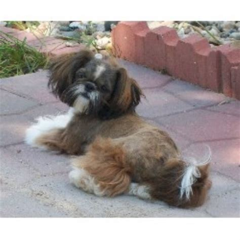 shih tzu puppies iowa lil cutie shih tzus shih tzu breeder in glenwood iowa listing id 14645
