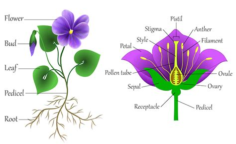 Parts Of A Flower Simple Diagram