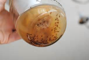 Fruit Flies Vs Gnats Fruit Flies And Gnats Related Keywords Amp Suggestions