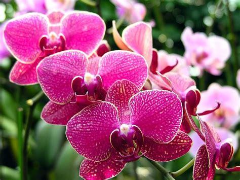 orchidea fiore cura orchidee piante da interno cura orchidee come curare