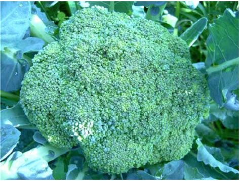 Benih Brokoli Cief 2 budidaya brokoli tanam sayuran