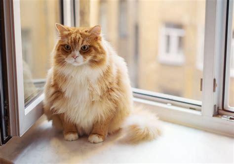 pet points fat cats   prone  diabetes