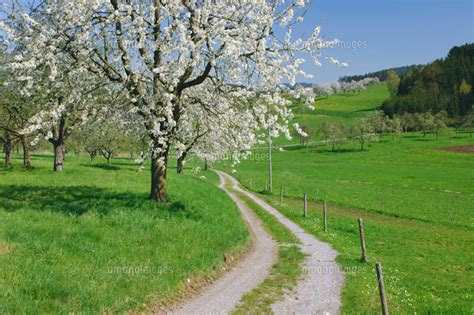 700 cherry tree road cherry tree and country road 20025195099 写真素材 ストックフォト 画像 イラスト素材 アマナイメージズ