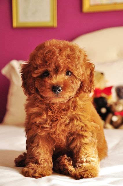 goldendoodle lifespan goldendoodle golden doodles and doodles on