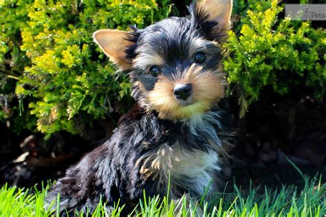 yorkie puppies for sale in syracuse ny twix terrier yorkie puppy for sale near hudson valley new york