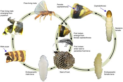 hornet cycle diagram cycle of xenos vesparum within its paper wasp host