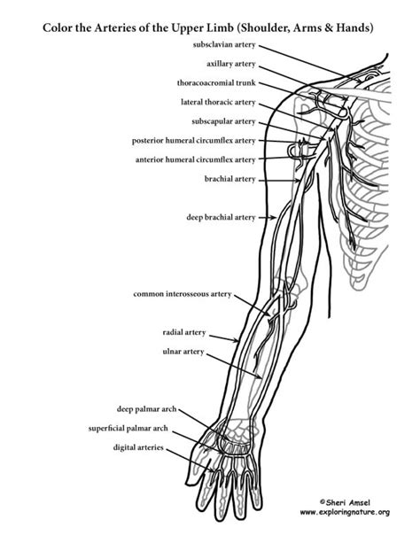 anatomy and physiology coloring workbook answers blood vessels arteries of the limb shoulder arm coloring page