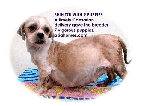shih tzu pregnancy calendar south pregnancy sonar for 6 weeks pregnancy photo new calendar template site