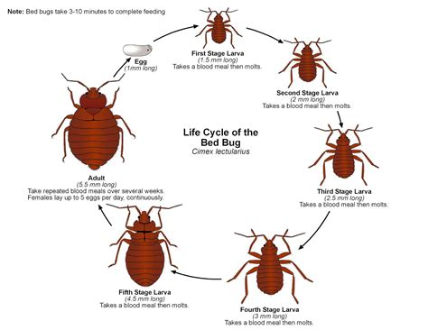bed bugs life cycle bed bugs what you need to know article by laurie jo