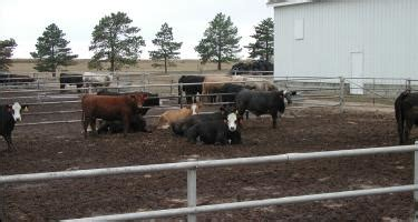 agricultural research center hays beef cattle science