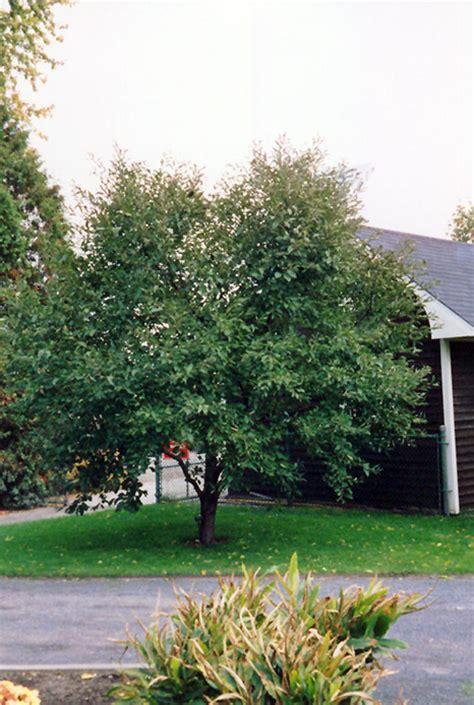 u of mn cherry trees montmorency cherry prunus montmorency in inver grove heights minnesota mn at gertens