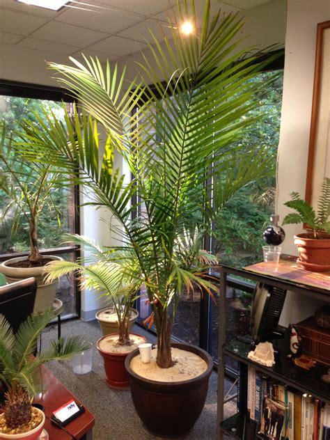majesty palm ravenea rivularis   office