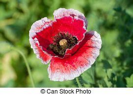 fiore oppio archivi fotografici di fiore oppio rosso foto di 224