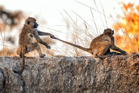 baboons spotted  heated fracas