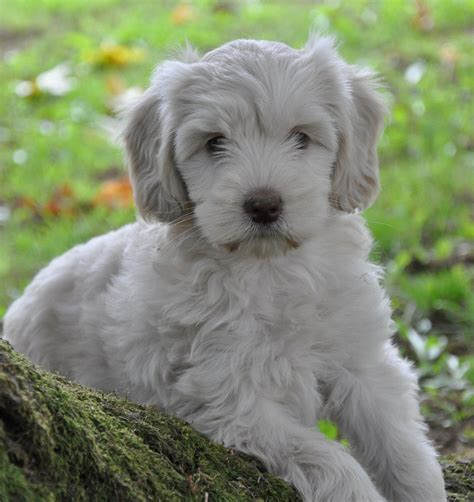 labradoodles puppies for sale sydney australian labradoodle puppies for sale northwest