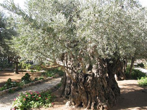 giardino dei getsemani ricerche in corso su otto ulivi plurisecolari getsemani