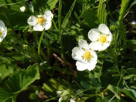 nedlasting filmer wild strawberries gratis bildet skog blomstre anlegg hvit eng blomst vill