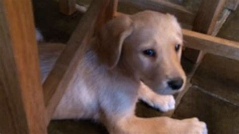 golden retriever puppies for sale manchester stunning golden labrador puppies for sale manchester greater manchester pets4homes