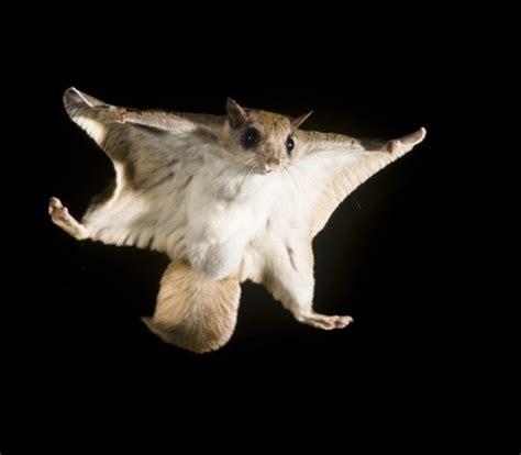 scogliattolo volante southern flying squirrel